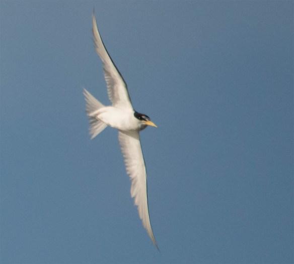 Least Tern 2016-5