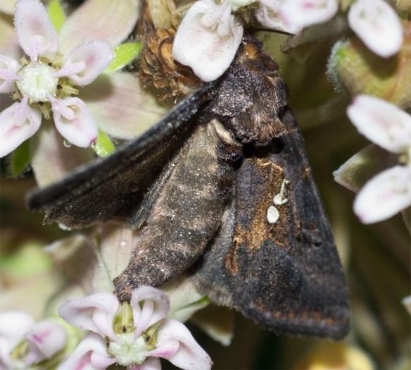 Moth 213