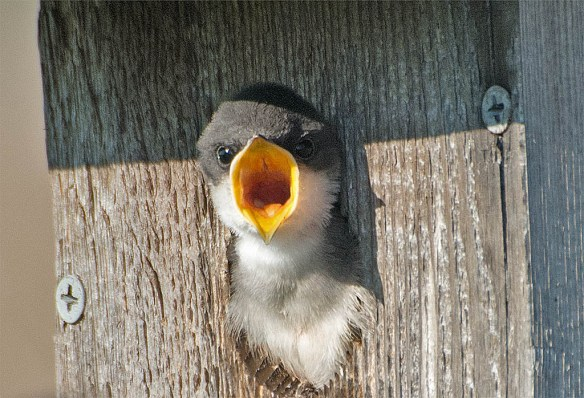 Tree Swallow 2016-64