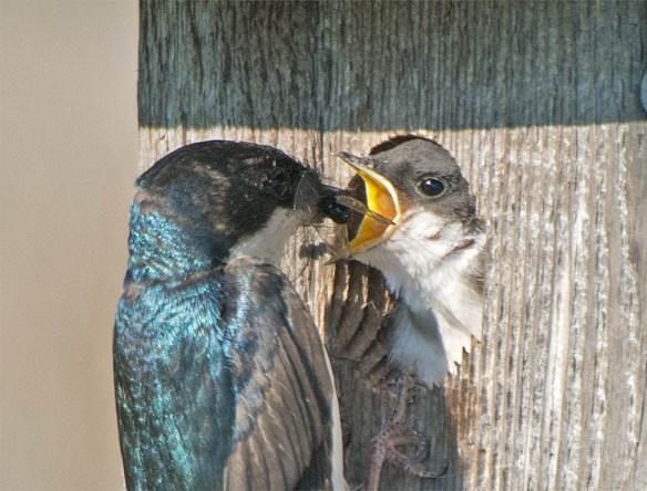 Tree Swallow 2016-71