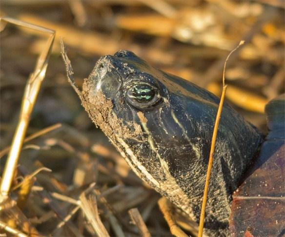 Turtle 56