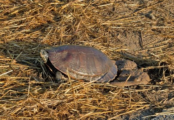 Turtle 57