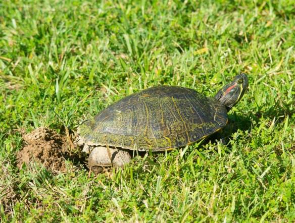 Turtle 60