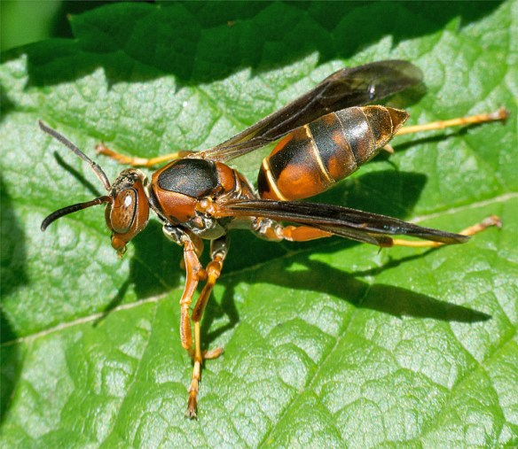 Wasp 13