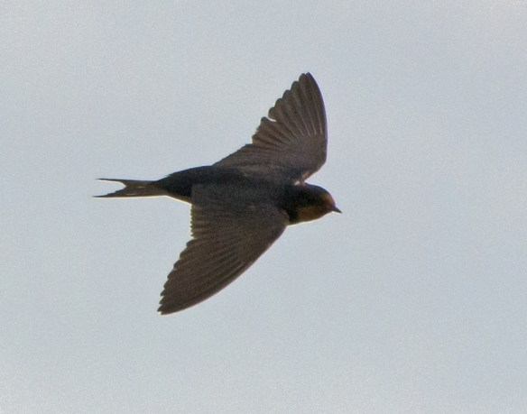 Barn Swallow 2016-28