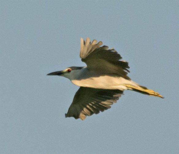 Black Crowned Night Heron 2016-12