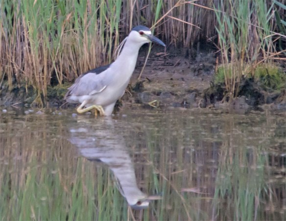 Black Crowned Night Heron 2016-4