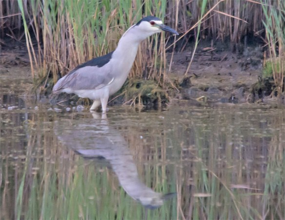 Black Crowned Night Heron 2016-5