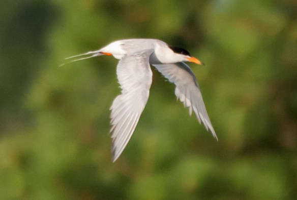 Common Tern 2016-4