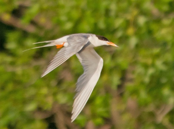 Common Tern 2016-5