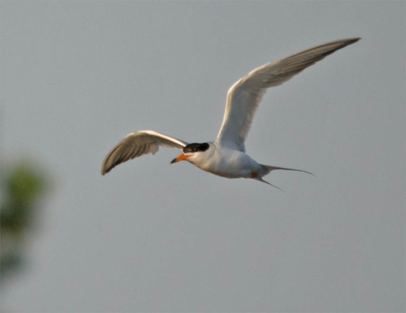 Common Tern 2016-9