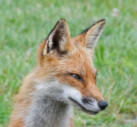 Fox 55