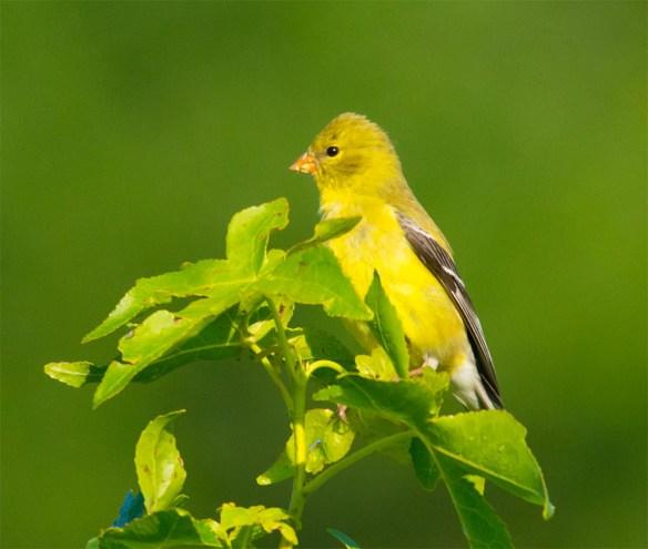 Goldfinch 2106-12