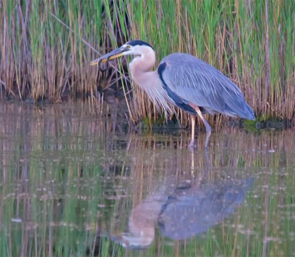 Great Blue Heron 2016-36