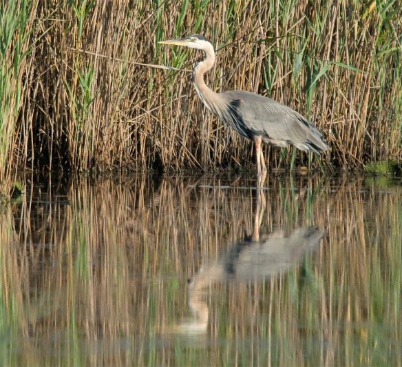 Great Blue Heron 2016-43