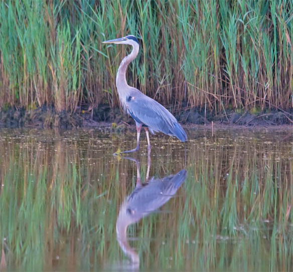 Great Blue Heron 2016-54