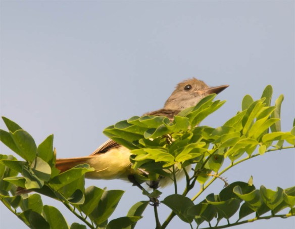 Great Crested Flycatcher 2016-13