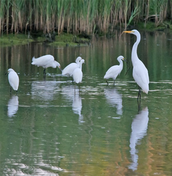 Great Egret 2016-10