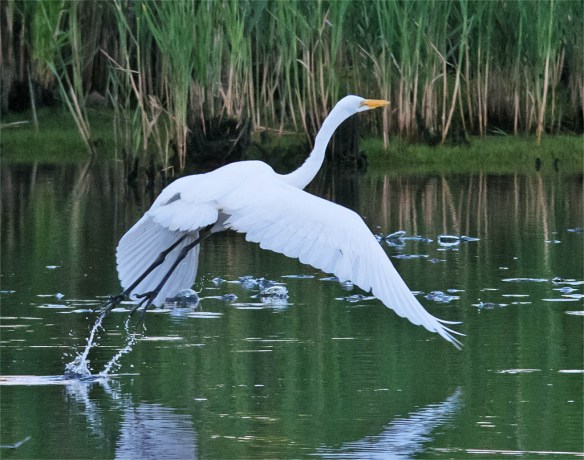 Great Egret 2016-11