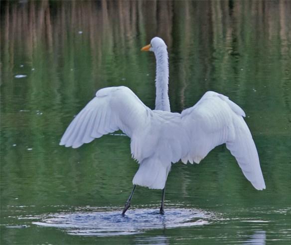 Great Egret 2016-9
