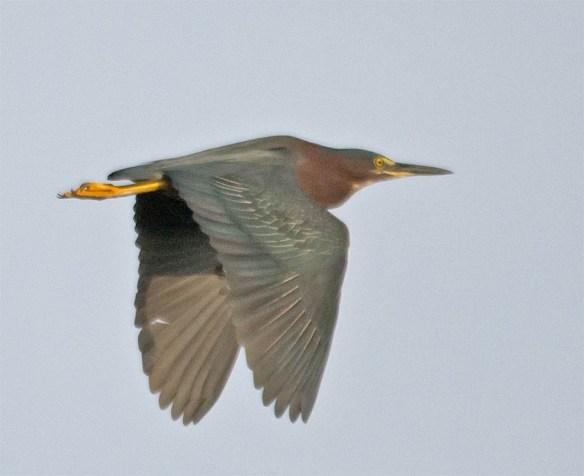 Green Heron 2016-40