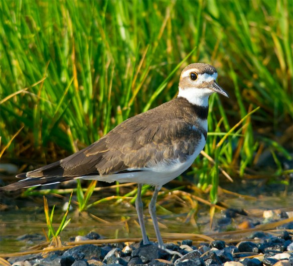 Killdeer 2016-7