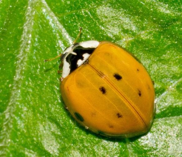 Ladybug 50