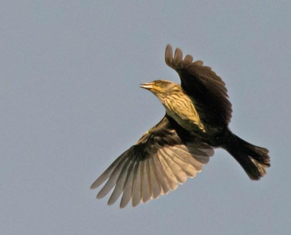 Red Winged Blackbird 2016-46