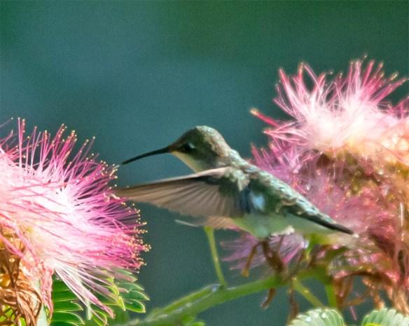 Ruby Throated Hummingbird 2016-11