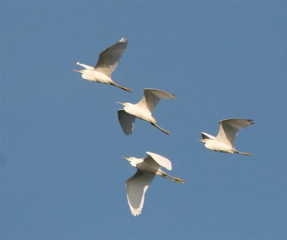 Snowy Egret 2016-15