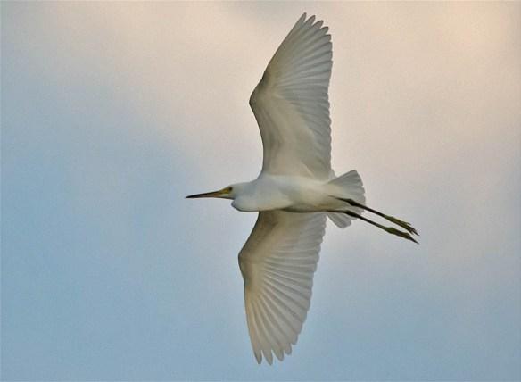 Snowy Egret 2016-27