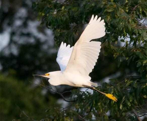 Snowy Egret 2016-31