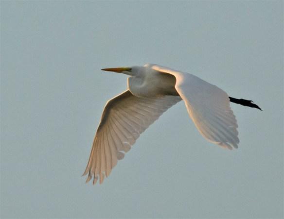 Snowy Egret 2016-35