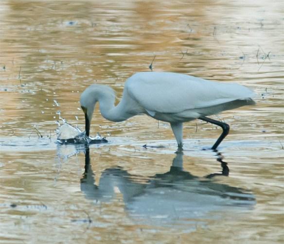 Snowy Egret 2016-45
