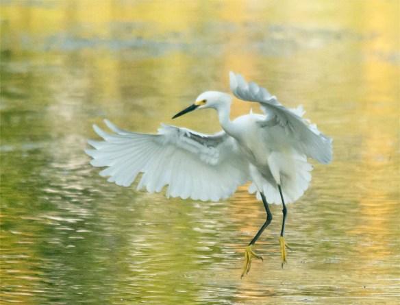 Snowy Egret 2016-48