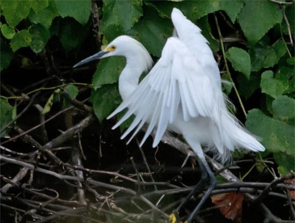Snowy Egret 2016-53