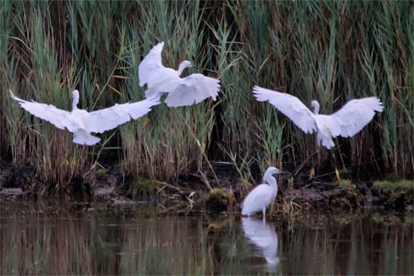 Snowy Egret 2016-56