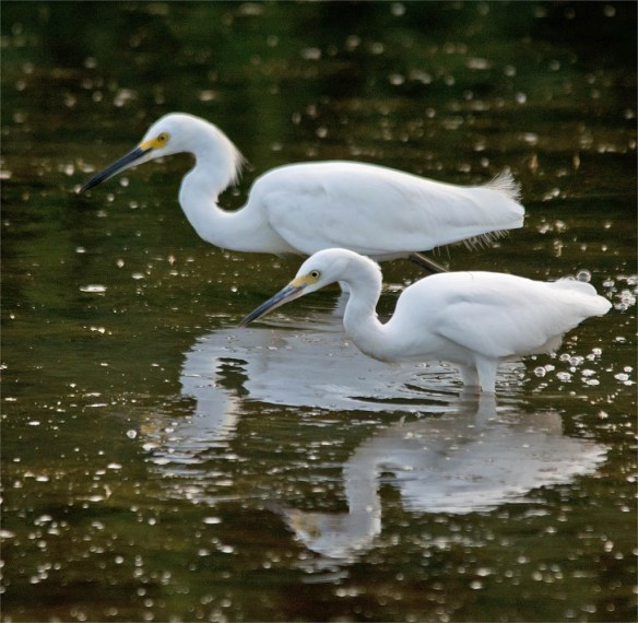 Snowy Egret 2016-57