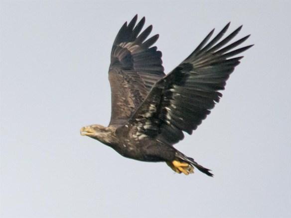 Bald Eagle 2016-67