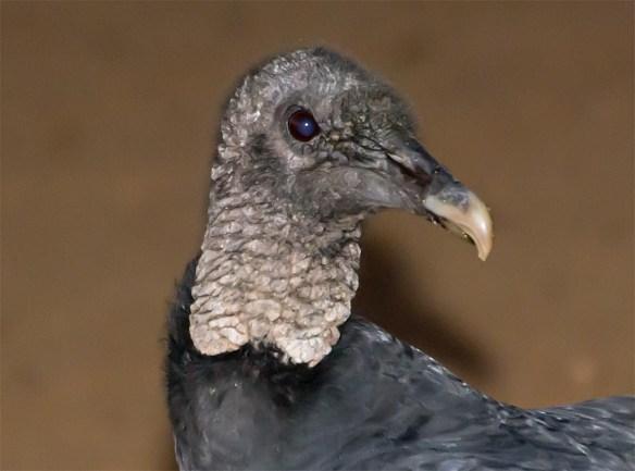 Black Vulture 2016-1