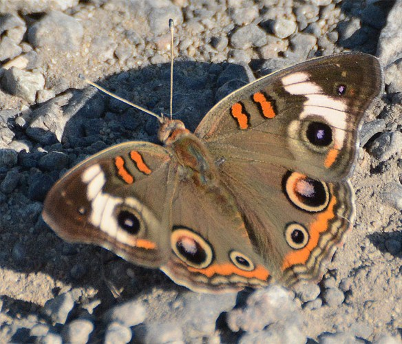 Common Buckeye 12