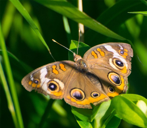 Common Buckeye 8