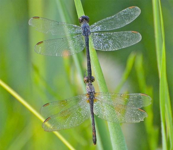Dragonfly 90