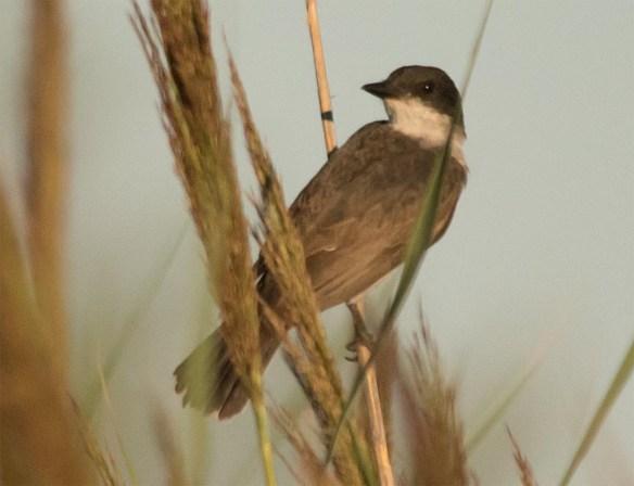Eastern Kingbird 2016-35
