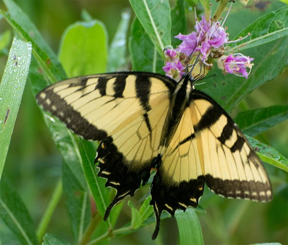 Eastern Tiger Swallowtail 102
