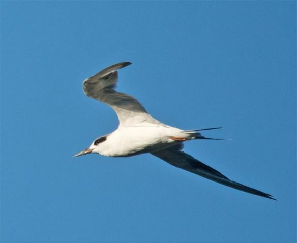 Forster's Tern 2016-19
