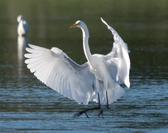 Great Egret 2016-47