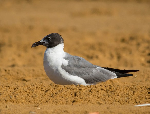 Laughing Gull 2016-5