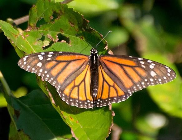 Monarch 28