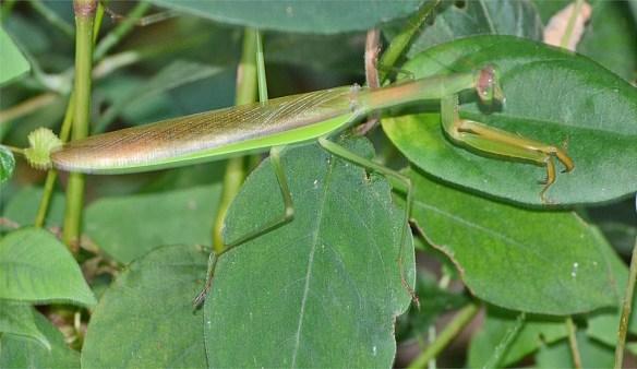 Praying Mantis 50